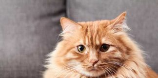 kucing tidak punya kumis