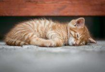 penyakit yang bisa membunuh kucing