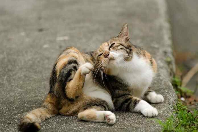 basmi kutu kucing
