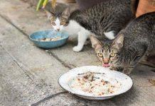 kucing diberi makan nasi