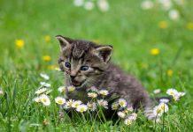 kucing makan tanaman herbal