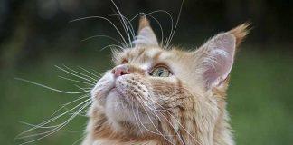 merawat kucing tua