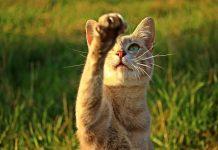 keistimewaan cakar kucing
