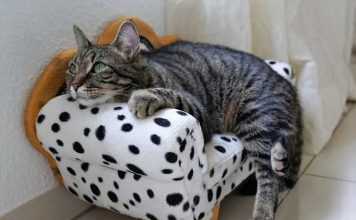 arthritis pada kucing