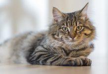 kepribadian dan sifat kucing