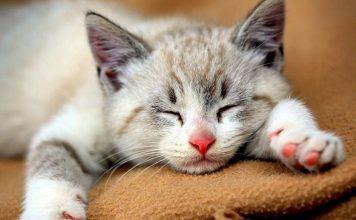 fakta tentang dengkuran kucing