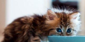 kucing rakus