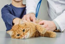 Penyakit ginjal pada kucing