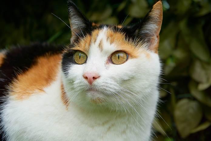 kucing belang tiga