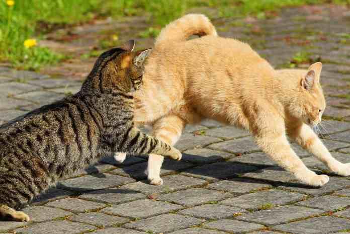kucing bermain atau berkelahi