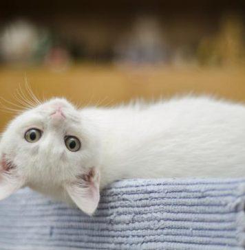 Bau tak sedap pada kucing
