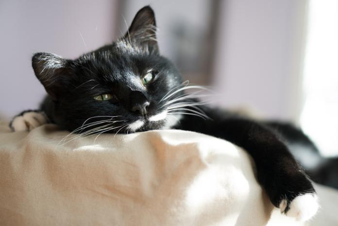 Gejala demam pada kucing