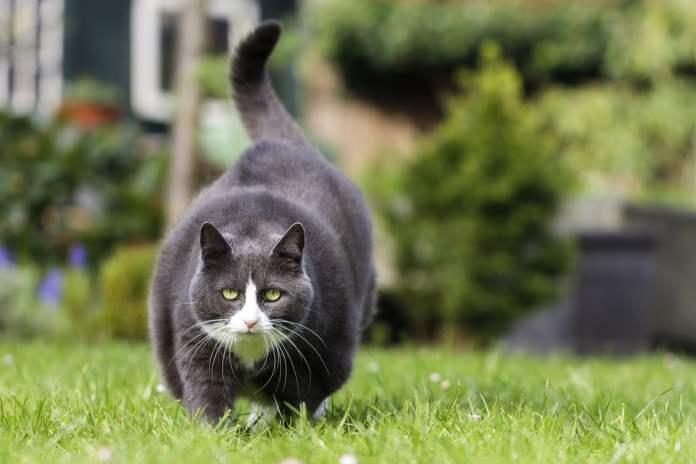 obesitas pada kucing