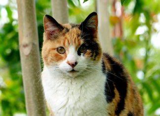 kelainan genetik pada kucing