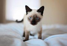 pelihara kucing siam