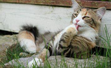 Kucing Menjilat Dirinya Sendiri