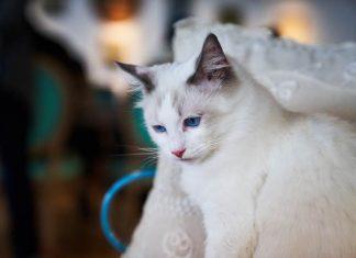 kucing cemburu