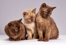 sensus kucing