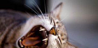 cara unik kucing membersihkan lambung