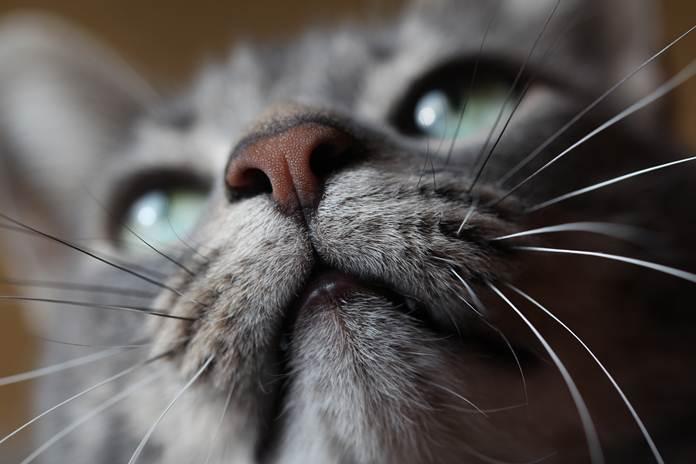 kucing tak berkumis