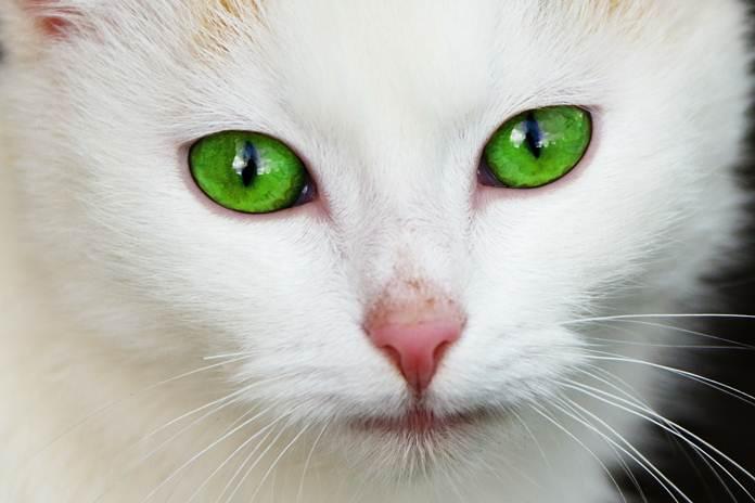 Pupil kucing