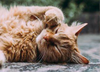 penyakit pada mata kucing