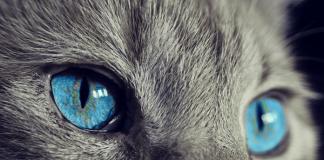 sifat warna mata pada kucing
