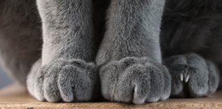 Cakar kucing