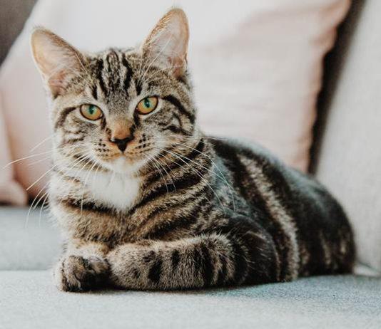 pembunuh kucing