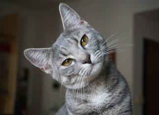 Memelihara kucing