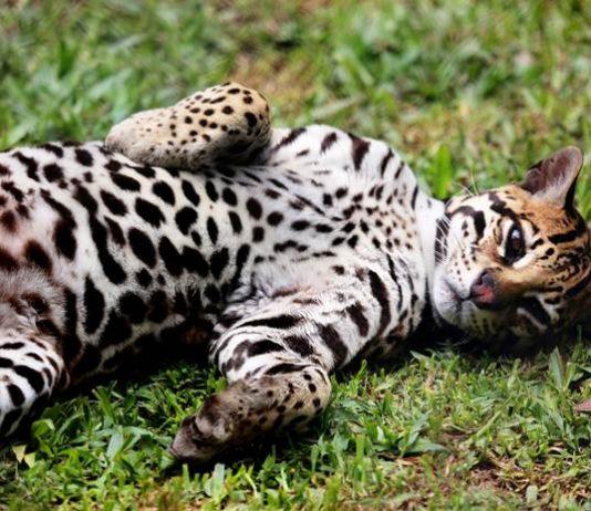 kucing Ocelot