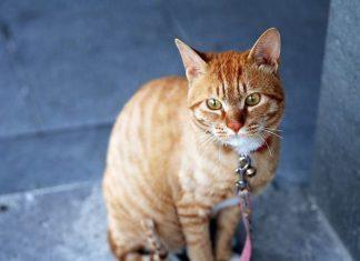 kucing terkena toxoplasma?