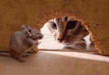 bahaya kucing makan tikus
