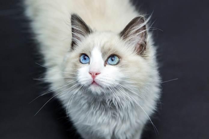 makanan dan minuman yang harus dihindari kucing
