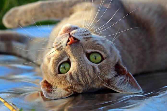 manfaat sterilisasi pada kucing
