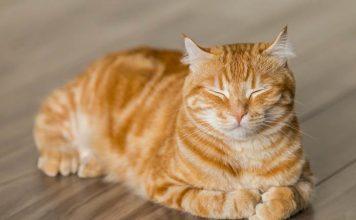 kucing tidak mengeong