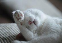 Telapak kaki kucing
