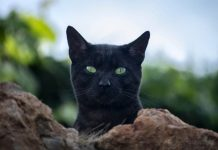 Mitos tentang kucing hitam