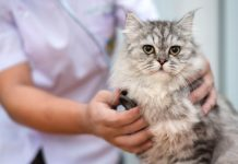 ciri dan gejala kucing demam