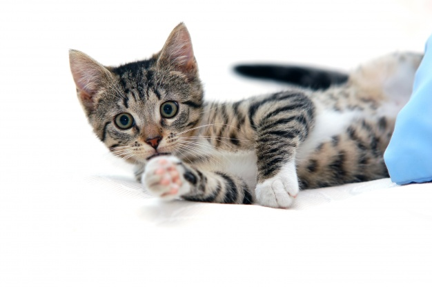 Kucing kidal