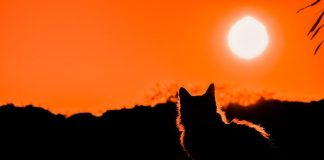Mitos kucing rubah