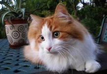 cara merawat kucing angora