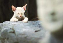 mencabut cakar kucing