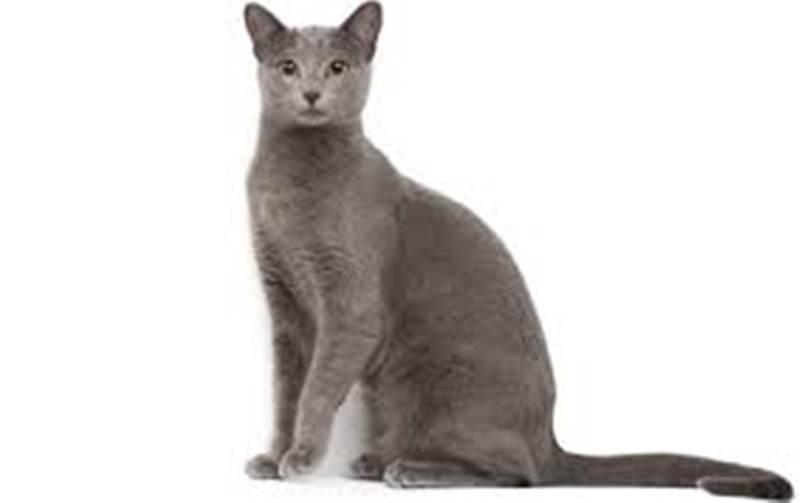 Kucing Russian Blue Jenis Kucing Rumahan Catlovers Id