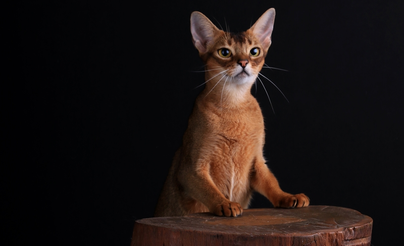 Kucing Abyssinian - Catlovers id