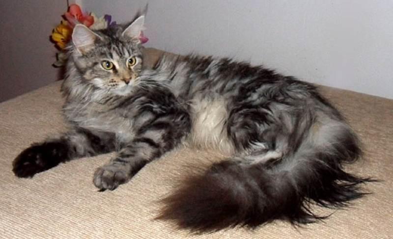 Yuk Kenali Sifat Kucing Maine Coon Catlovers Id