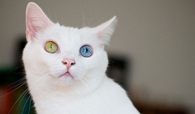 Lihat Nih Mitos Kucing Odd Eye Yang Mengagumkan Catlovers Id