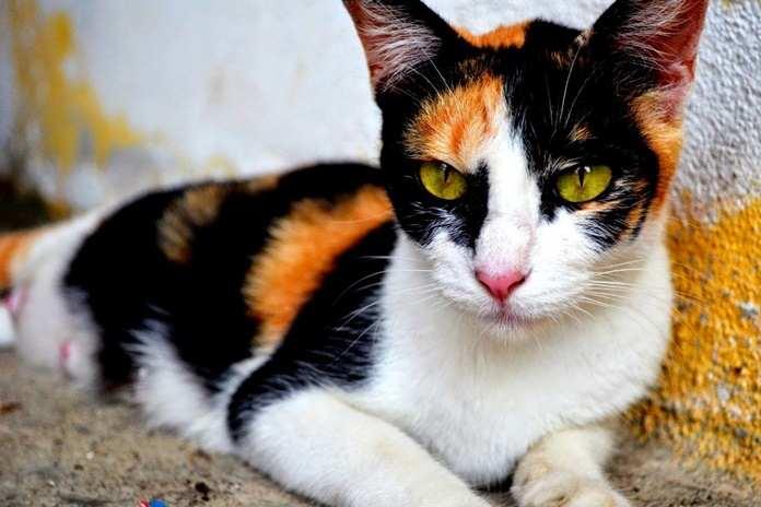 Unik Kucing Tiga Warna Ini Dianggap Sebagai Keberuntungan Catlovers Id