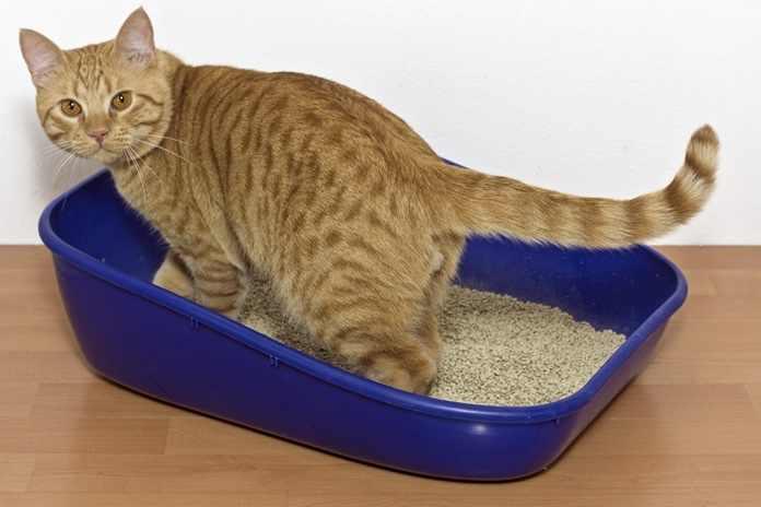 Cara Membersihkan Kotoran Kucing Agar Bersih