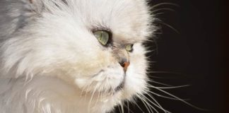asal usul kucing persia